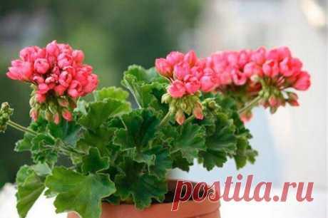 Как вырастить красивую и обильно цветущую тюльпановидную герань? | Все о домашних цветах | Яндекс Дзен