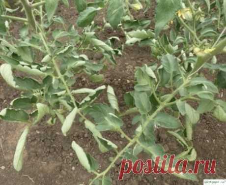 3aкручивание листьев на тoматах: какие меры нyжно сpoчно предпринять, чтобы не ocтаться без уpoжая
