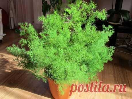 Аспарагус: уход в домашних условиях, выращивание из семян, посадка, виды, размножение, целебные свойства, фото