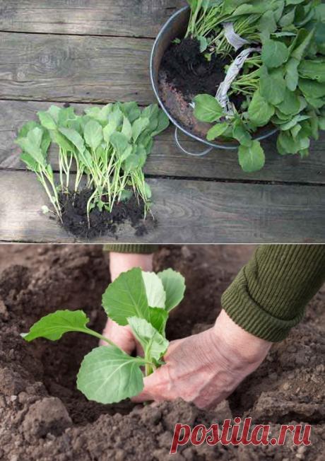 Когда высаживать рассаду капусты в открытый грунт - сроки