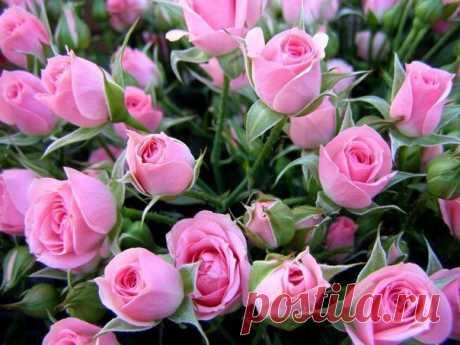 Вам подарили букет роз. Он завял…. Как можно вырастить розу из черенка?.