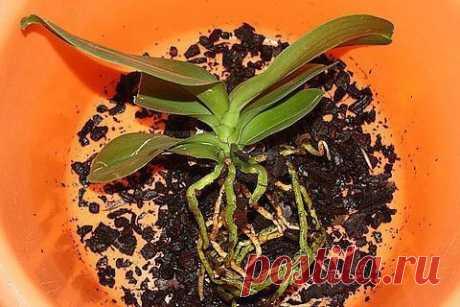 Пошаговая инструкция по пересадке фаленопсиса (орхидея)  . Мы эту информацию собирали по крупицам, сохраняйте для себя и делитесь с друзьями. Старались для вас, дорогие). В интернете такого не найдете.  Шаг 1  Достаньте орхидею из горшка и положите её в широкий таз. Чтобы вам легче было вытащить орхидею, помните слегка стенки горшка. Если это не поможет – аккуратно, чтобы не повредить воздушные корни фаленопсиса, разрежьте или разбейте старый горшок.  Обычно, чем сильнее р...