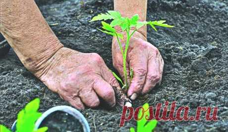 Рассказываю, какое удобрение добавляю в ямку при высадке томатов. Благодаря этой прикормке получаю хороший урожай. | Любимая дача | Яндекс Дзен