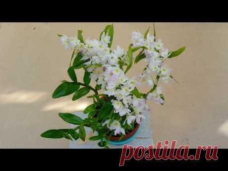 Орхидея  дендробиум нобиле пышное цветение