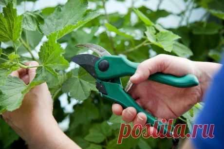 Обрезайте кусты черной Смородины моим способом и получите богатый Урожай ягод в следующем году | КОТоПЁСоМАНИЯ | Яндекс Дзен