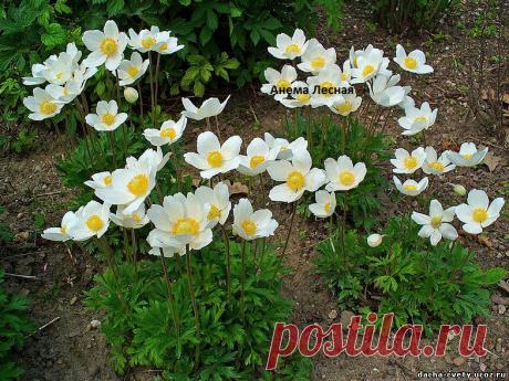 Дача,многолетние цветы,рассада,купить многолетние цветы - Анемона весенняя,анемона цветы,купить анемону лесную,купить анемону,цветы почтой,купить рассаду цвет