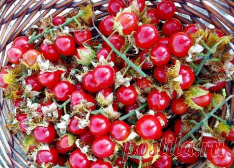 Prickly tomato treat – exotic vegetable which can be grown up in a midland