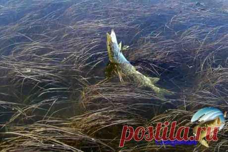 Как ловить рыбу в траве Все мы знаем, что многим видам рыб нравится густая растительность (кувшинки и подводные заросли из водорослей). Они кормятся и укрываются в траве под водой или рядом с ней, так что ловить рыбу там …