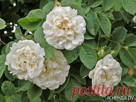 Шиповники? Нет, парковые розы! Евгений Писарев. часть 3.: Группа Цветы и флористика