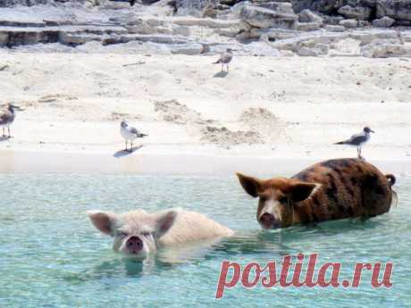 На одном из Багамских островов нет людей, зато это место облюбовали домашние свиньи. Судя по их мордочкам, живется им там неплохо.