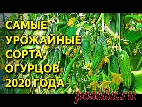 ТОП 6 суперурожайных  ОГУРЦОВ 2020!!! Вы обалдеете от этих огурчиков: пучковые, корнишоны...
