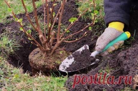 Подкормка ягодных кустарников | Уход за садом (Огород.ru)
