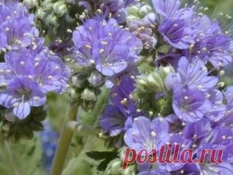 Фацелия - почву удобряет, сорняки уничтожает - Садоводка