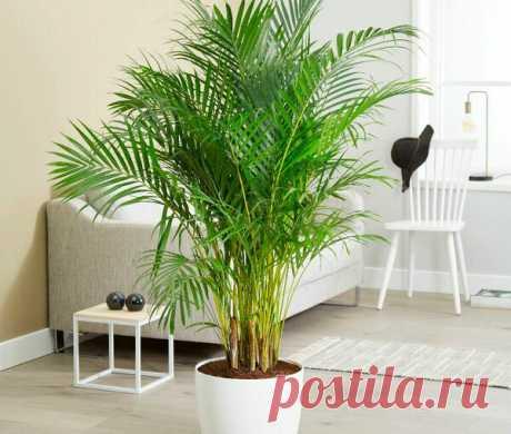 Хамедорея: 7 главных правил ухода за комнатной пальмой | Огород на подоконнике | Яндекс Дзен