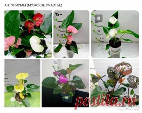 Комнатные цветы ирастения. Челябинск купить вЧелябинске | Товары для дома идачи | Авито