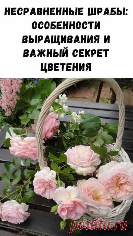 Несравненные шрабы: особенности выращивания и важный секрет цветения - Интересный блог