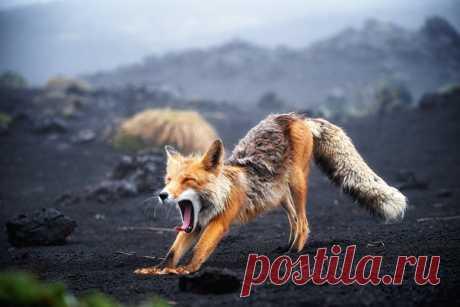 Камчатская лисица потягивается после отдыха. Автор кадра – Евгений Егорейчанков: nat-geo.ru/community/user/203541/ Доброе утро!