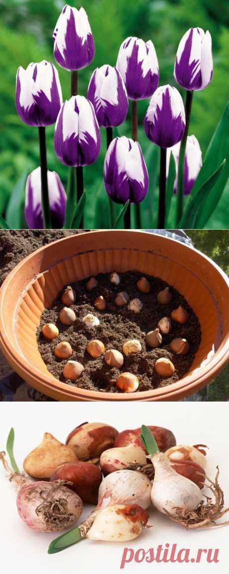 Куда исчезают луковицы тюльпанов? | Дачный участок