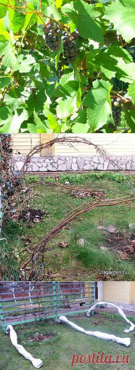 Cubrimos la uva   la Vida de veraneo - el jardín, la huerta, la casa de campo.\u000d\u000aCubrimos la uva para el invierno.