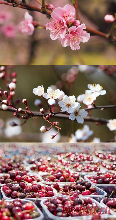 По ком цветет сакура: топ-5 лучших сортов вишни посоветовали агрономы | Блоги о даче, рецептах, рыбалке #Садидача, #Ягоды, #Виноград, #Огурцы, #Фрукты, #Овощи  Плоды вишни очень полезны и любимы многими.  Чтобы вишня была сладкая и вкусная, важен не только правильный уход за деревом, но и нужный сорт.  Агрономы выделили 5 самых удачных видов вишневого дерева и рассказали о нюансах посадки каждого...