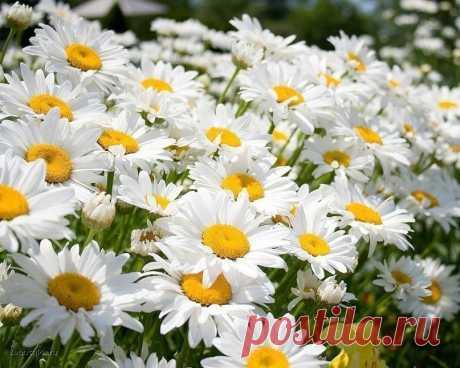 Ах, ромашки! Цветы луговые...золотисто-белый дурман... Вы как души чьи-то святые, как целительный сердцу бальзам...