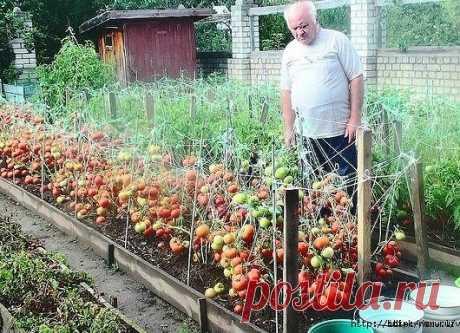 """""""Дрожжевой полив"""" - дедовский рецепт выращивания томатов."""