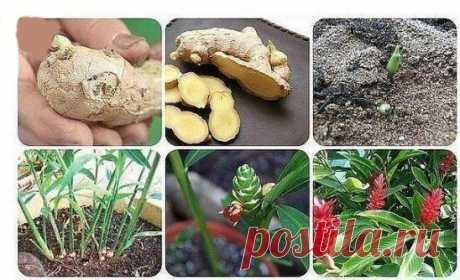 Как выращивать имбирь дома