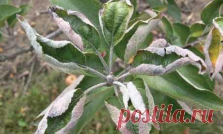 Что делать если на яблоне скручиваются листья
