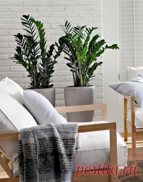 Тропический яркий замиокулькас в интерьере квартиры. Куда лучше поставить цветок?  Мы все привыкли, что растения должны быть в доме. Но для того чтобы они радовали нас своими красивыми листьями и цветами, нужно правильно ухаживать за ними. Например, замиокулькасы – это как раз те цветы, которые не требуют постоянного полива. Они хорошо переносят сухость воздуха, поэтому их можно ставить в спальне или гостиной. Замиокулькасу будет комфортно рядом с торшером, лампой или у открытого окна. На его …