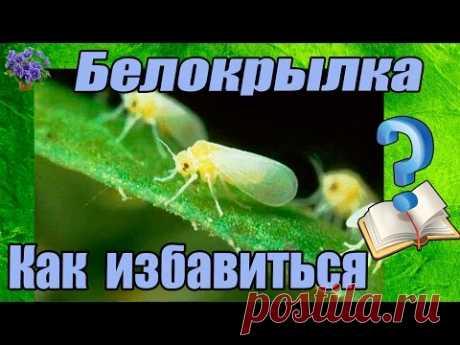 Вредитель комнатных растений белокрылка. Методы борьбы в домашних условиях!