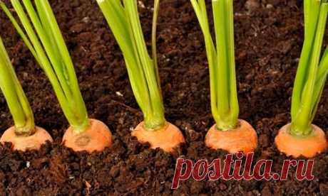 Простой способ посева моркови без прореживания. Первые всходы через 3 дня! Клуб дачников и огородников > Подворье > Простой способ посева моркови без прореживания. Первые всходы через 3 дня! Простой способ посева моркови без прореживания. Первые всходы через 3 дня! Как добиться более обильного урожая, приложив к этому минимум усилий? Делюсь уникальным способом посе