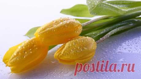 Download Wallpaper 1920x1080 tulips, drops, stem, bud, flower HD background