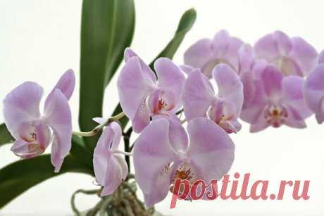 Как поливать орхидею в домашних условиях | Огородомания: сад, огород, дача | Яндекс Дзен