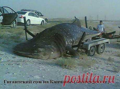 Большая рыба из капчагайа