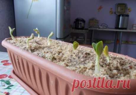 Огурцы - японский метод посева семян — Бабушкины секреты