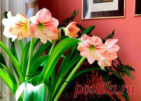 Выращиваем гиппеаструм в домашних условиях