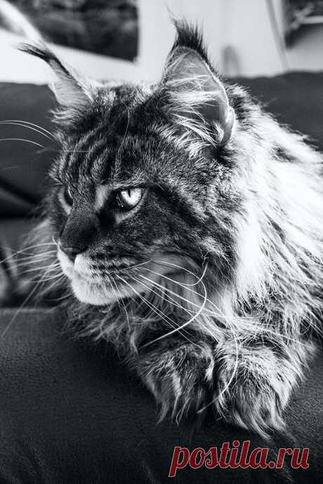 Maine Coon / nando by Conflux 23