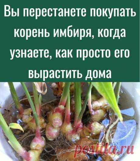 Вы перестанете покупать корень имбиря, когда узнаете, как просто его вырастить дома