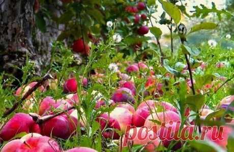 Осыпаются яблоки - подкормите дерево  Каждый садовод знает, что правильная и своевременная подкормка плодовых деревьев является залогом их здоровья и успешного плодоношения.  Яблони желательно подкармливать четыре раза на протяжении всего садового сезона: весной во второй половине апреля, при начале цветения яблони, в период наливания плодов, и последнюю подкормку делают после окончательной уборки урожая.  Важно правильно определить зону подкормки яблони. Она начинается на...
