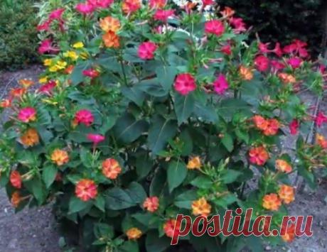Ночка, Зорька, Ночная красавица, Маскарад - всё это названия одного удивительного цветка - мирабилис