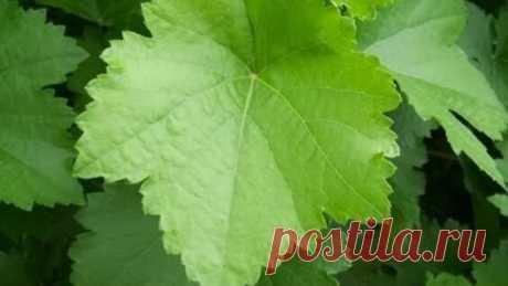 Виноградные листья для долмы на зиму - Яндекс.Видео