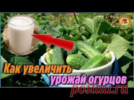 Вот как увеличить урожай огурцов. Супер простой и эффективный способ. Секрет высокого урожая - YouTube
