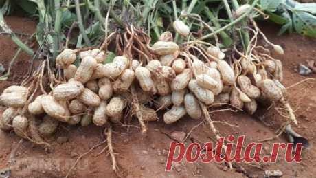 Правила выращивания арахиса на дачном участке | Идеальный огород | Яндекс Дзен