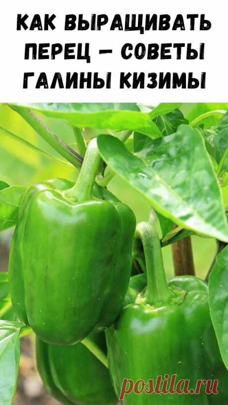 Как выращивать перец — советы Галины Кизимы - Интересный блог