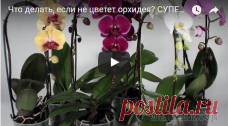Что делать, если не цветет орхидея? Что делать, если не цветет орхидея?Купили вы орхидею, она благополучно отцвела и стоит, растут только листья, а цветоносов и в помине нет. Что делать в такой ситуации?Я вам покажу способ, который дейс...
