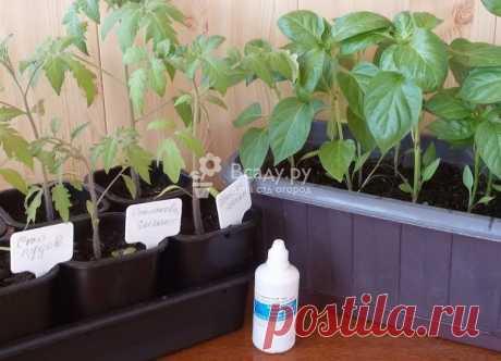 Нашатырный спирт для растений: применение, рецепты Нашатырь - польза для растений в огороде, как использовать, сколько вносить. Нормы внесения нашатырного спирта для защиты от вредителей и подкормки