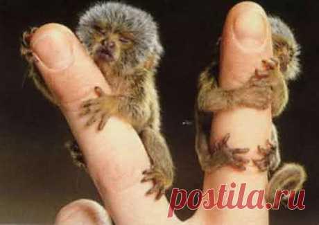 Карликовая игрунка или пальчиковая обезьяна