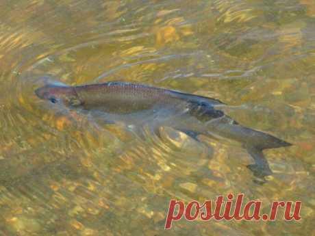 Можно ли есть солитерную рыбу. Чиновники из Росрыболовства утверждают, что ДА | MASTER-FISHER.RU | Яндекс Дзен
