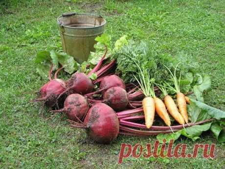 Чтобы свекла и морковь были сладкими  Сладкий вкус свекле и моркови придают сахара, которые формируются в повышенных количествах при правильной подготовке почвы, удобрении и подкормках, поливе и уходе. При правильной агротехнике в корнеплодах накапливается 4-11% сахаров. Нарушение режима питания корнеплодов ведет к резкому падению содержания сахаров и других полезных веществ, превращает их в практически пустые овощи. Показать полностью...