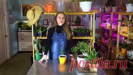 Как оживить самое хилое и засохшее комнатное растение!